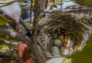 Amselkind mit Eiern im Nest