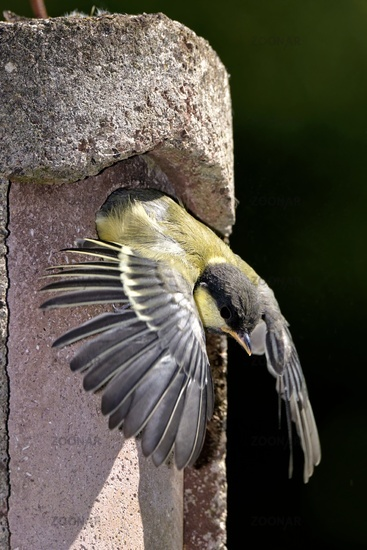 Great tit is leaving the nest box