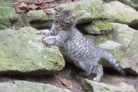 Wildcat, Common Wild Cat