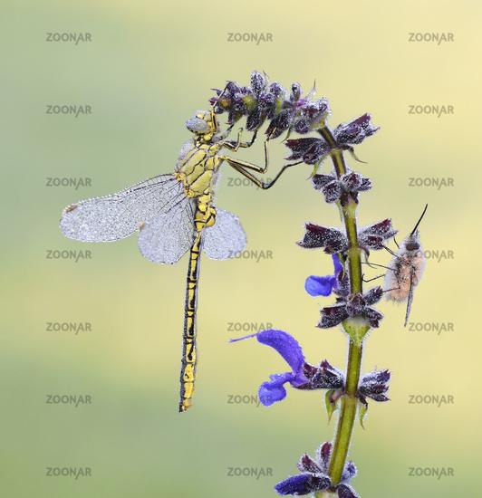 western clubtail, bee flies
