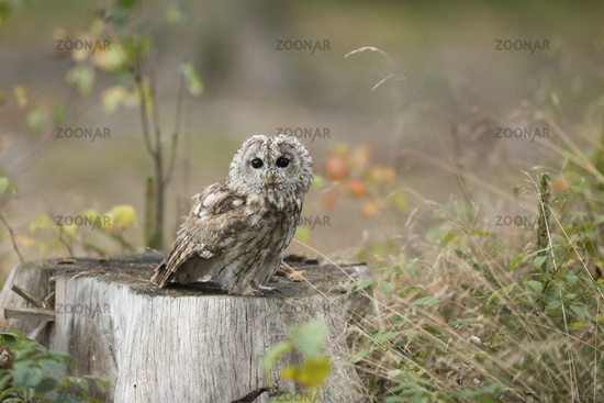 on the clearing... Tawny Owl *Strix aluco*