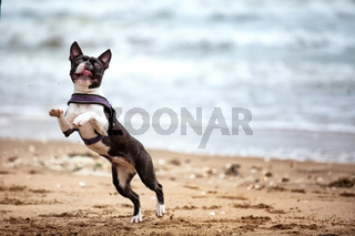 Mann mit Boston Terrier
