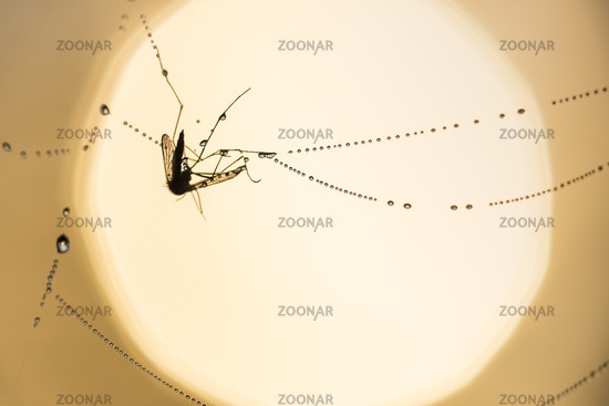 mosquitoe in a cobweb, Lapland, Sweden