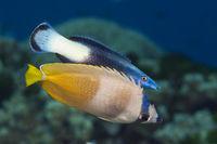 Kleins Falterfisch und Zweifarben-Putzerfisch, Australien
