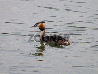 European great crested grebe