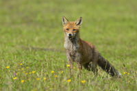 Red fox on meadow