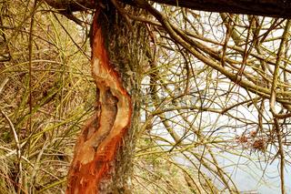 Biberspuren am Baum