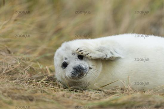 Grey seal -Heligoland-