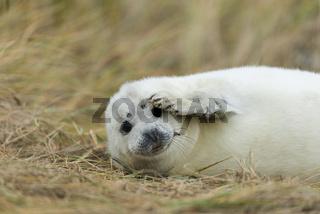 Kegelrobbe auf Helgoland