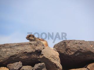 Atlashörnchen Atlantoxerus getulus