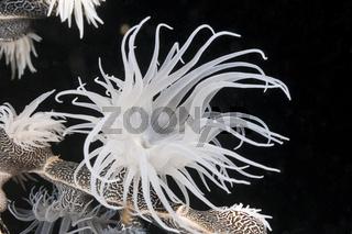 Koloniebildende Schmarotzer-Anemone, Indonesien