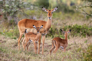impala family at nakuru national park