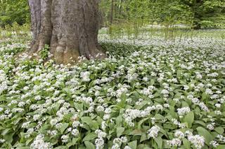 Blühender Ba¨rlauch (Allium ursinum), Putbus, Rügen, Deutschland, Europa