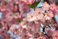 Cherry blossoms in full glory