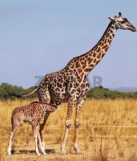 Giraffen im South Luangwa Nationalpark, Nsefu-Sektor, Sambia; Giraffes at South Luangwa National Park, Zambia; Giraffa camelopardalis