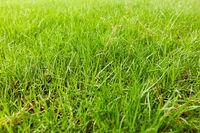 Green grass in a garden