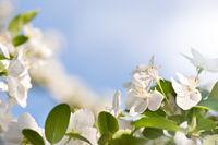 Flowering Cerasus cherry tree