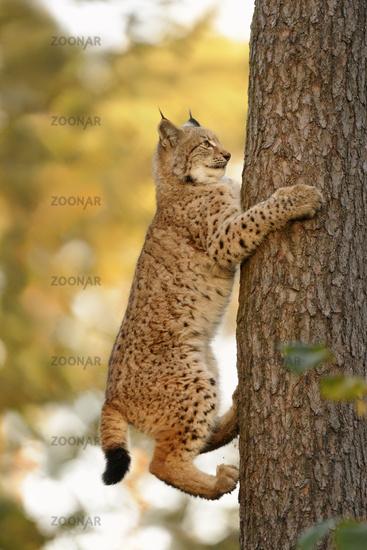 tree climbing... Eurasian Lynx *Lynx lynx*