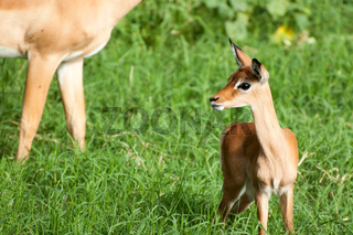 Young Impala in Green Grass with Ears Pointed