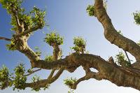 Äste einer Platane (Platanus) auf der Insel Mainau ### branches of a Platanus at Mainau Island