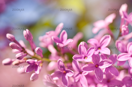 Lilac flowerets bright pink