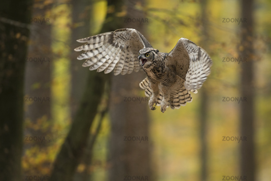 aggressive flight... Great Horned Owl *Bubo virginianus*