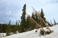 Dead pine trees on the slopes of Snowy Range Mountains of Wyoming