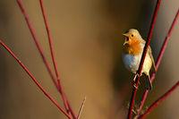 European Robin or Redbreast, Erithacus rubecula