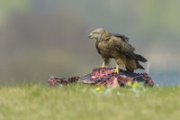 Black Kite, Milvus migrans
