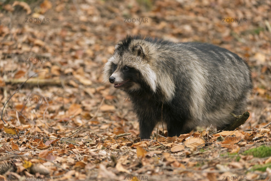 in autumn... Raccoon dog *Nyctereutes procyonoides*