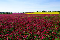 Red clover fields against blue sky