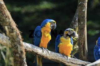 2 Gelbbrustara, Ara ararauna, Blue and gold macaw or blue and yellow macaw