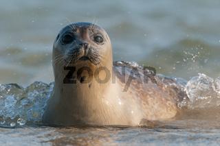 Seehund auf Helgoland
