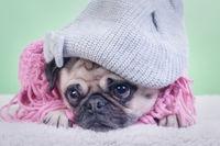 Winter Pug