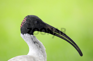 Molukkenibis (Threskiornis molucca)