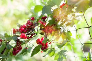 bush with red berries