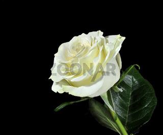 Eine weiße Rose
