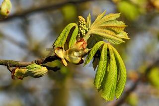 Die Jungen Blätter und Blüten der Kastanie