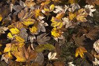 Autumn Leave Fantasy