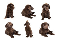 Labrador puppy collection on white background