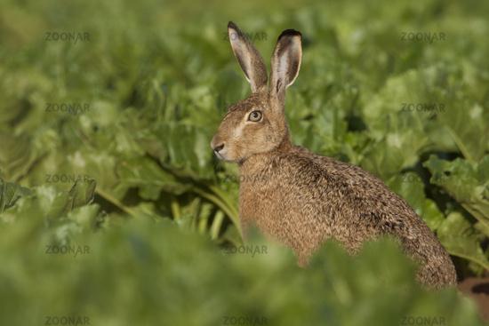 between beets... Brown Hare *Lepus europaeus*