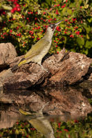 Green woodpecker in front of hawthorn
