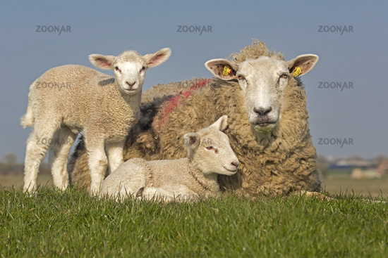 Sheep with young animals, North Frisia, Schleswig