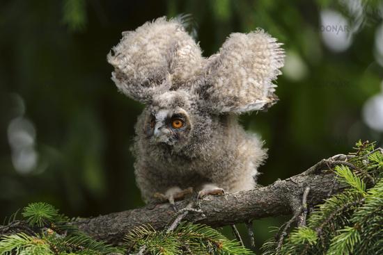 stretching... Long-eared Owl *Asio otus*