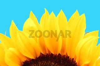 yellow sunflower macro close up