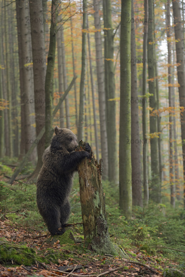 on its hind legs... European Brown Bear *Ursus arctos*