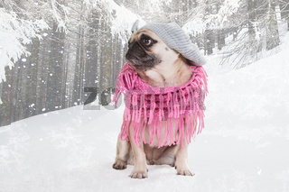Mops im Winter