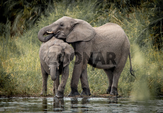 Drinking Elephants in the Kruger National Park