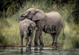 Drinking Elephants in the Kruger National Park
