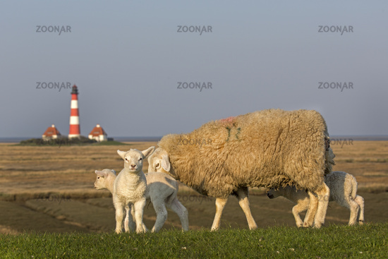 Lighthouse and sheep, Westerheversand, Westerhever